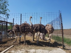 Vand Struti Africani si Emu
