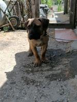 Vând pui cane corso vârstă de 4 luni