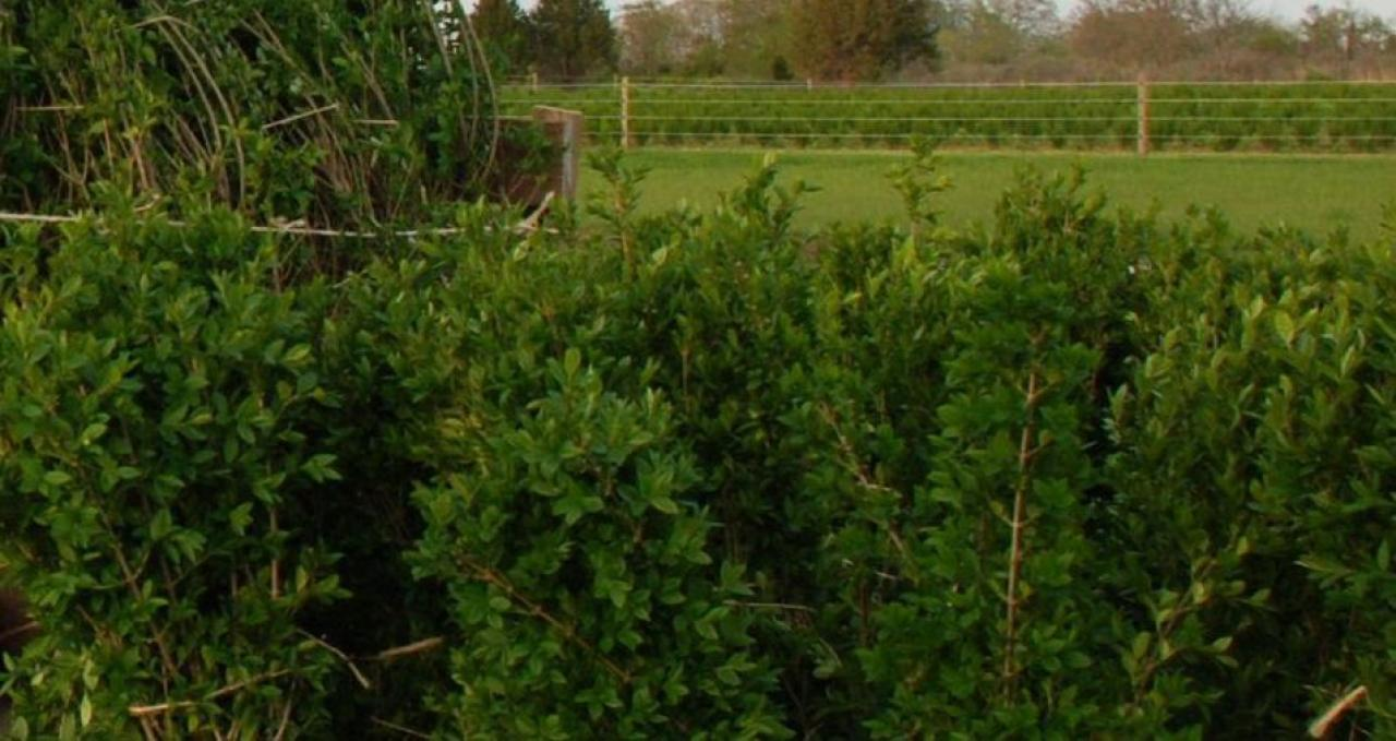 Gard viu,carpen,fag,lemn cainesc,buxus,ulm-10+5 gratis