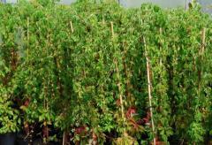 Vita de Canada -parthenocissus quinquefolia -10+5 gratis-1,5-1,8m