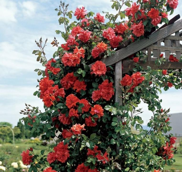 Trandafiri pomisor,urcatori-10+5 gratis