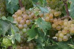 Struguri de vin(Vrancea)