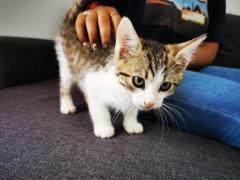 Avem 4 pui pisica britis gold