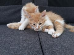 Avem pui pisica britis gold