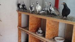 Porumbei voiajori stil vechi
