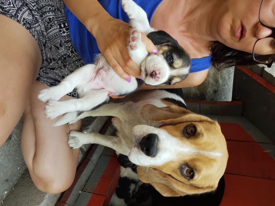 Catei beagle