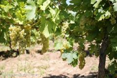 Vand struguri de vin calitate superioara: feteasca regala si feteasca alba romaneasca