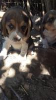 Vând puiuti Beagle tricolor