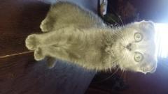Vand pisicuta Scottish Fold blue