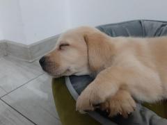 Labrador de rasa pura