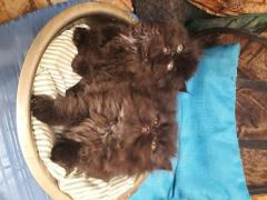 Vânzare pisicuti persani