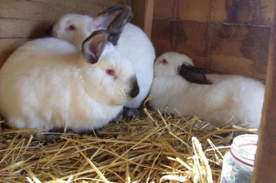 Vand iepuri crescuti in conditii bio in curte