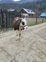 Vitica baltata romaneasca