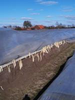 Sparanghel Agricultura Germania Sezonieri