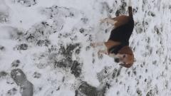 Caine beagle pentru Monta