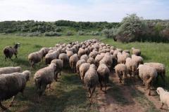 Bränze de oi / capre