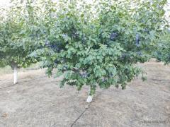 Vând prune Centenar