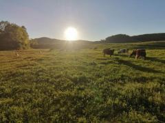 Vaca/ vaci de vanzare