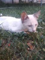 Donez pisicuță alba
