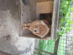 Vand mastif tibetan femela 3 ani