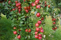 De Vanzare pomi fructiferi