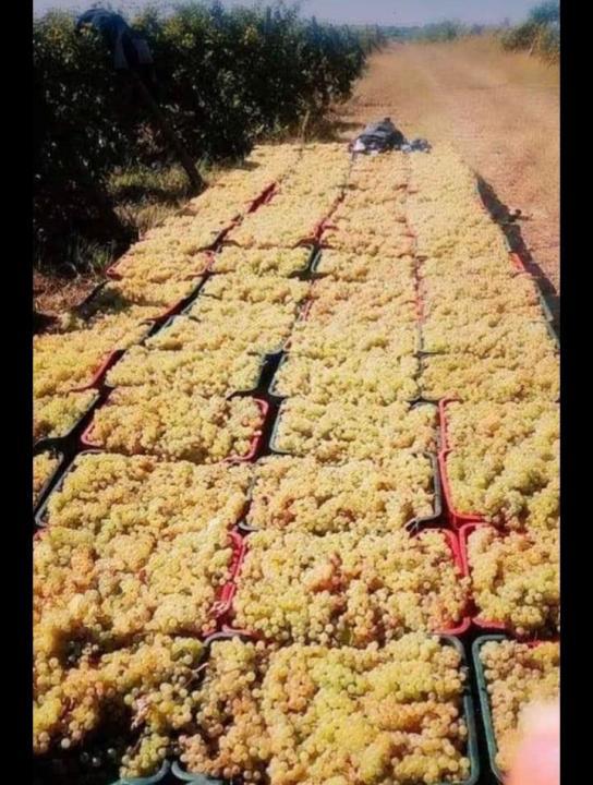 Vand struguri de vin feteasca regala