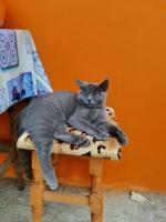 Pisica Britisch shorthair