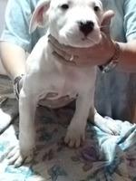 Puiuti Dog Argentinian