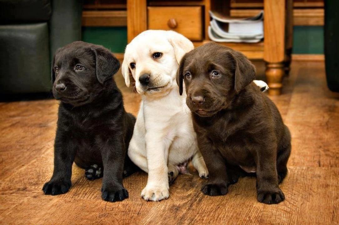 Pui Labrador de vanzare - masculi si femele 100 % rasa pura