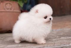 Pui Pomeranian/Boo Mini Toy de vanzare la pret de crescator