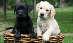 Labrador Pui de vanzare - 100 % rasa pura din parinti cu pedigree