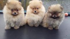 Pomeranian Mini Toy de vanzare cu microcip si carnet