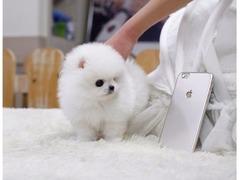 Catei Mini Toy Pomeranian de vanzare cu livrare