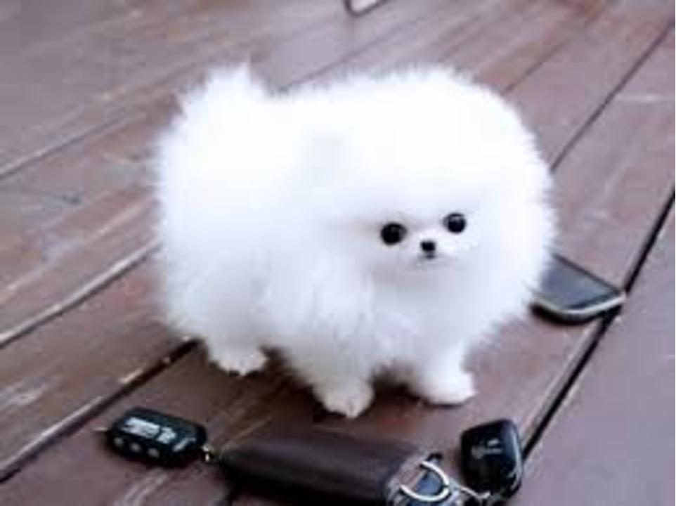 Pomeranian Mini Toy de vanzare cu garantie si livrare in tara