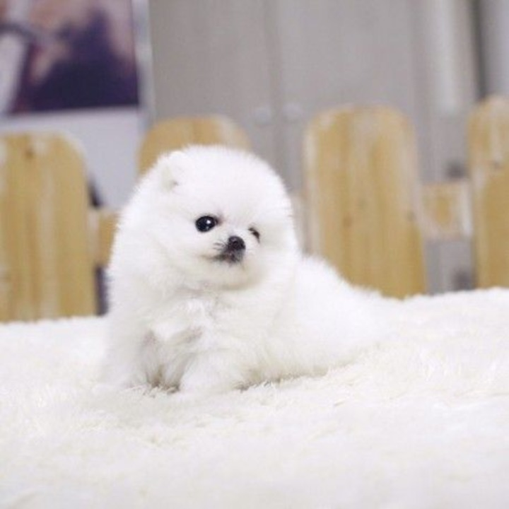 Vand Pomeranian Mini Toy la cel mai mic pret 100 % rasa pura