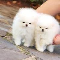 Pomeranian Toy masculi si femele la pret de crescator 100 %