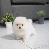 Pomeranian / Boo Mini Toy de vanzare la pret de crescator