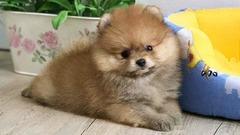 Catei Pomeranian Toy de vanzare cu carnet, pasaport, microcip si livrare