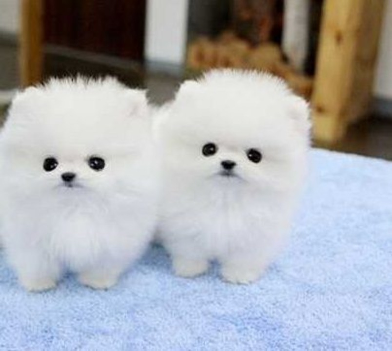 Catei Pomeranian Mini Toy de vanzare la pret de crescator