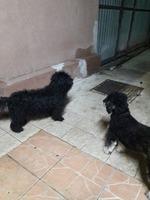Bichon  Maltese