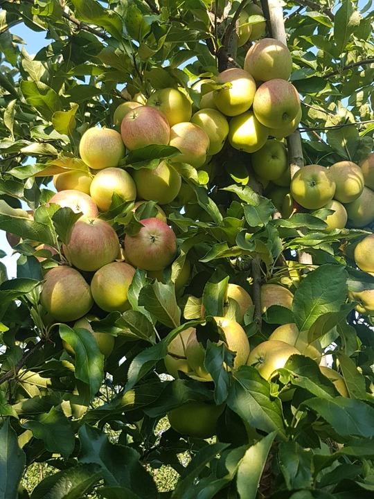 Taieri pomi fructiferi