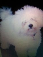 Bichon alb ,7 luni,mascul ,3 kg