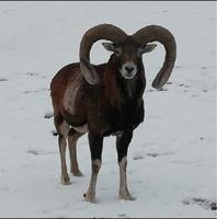 Vanzari mufloni -berbeci de rasa