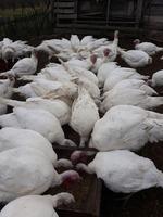 Vand curci si curcani de carne 15lei/kg in viu